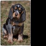 Bluetick Coonhound pics