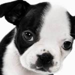 Boston Terrier hd desktop