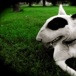 Bull Terrier funny
