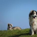 Carpathian Shepherd Dog high quality wallpapers