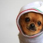 Chihuahua hd photos