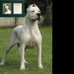 Cordoba Fighting Dog images
