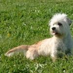 Dandie Dinmont Terrier full hd