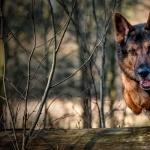 German Shepherd Dog background