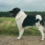 Karakachan Dog free