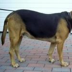 Kerry Beagle 2016