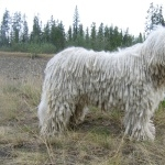 Komondor new photos