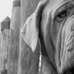 Neapolitan Mastiff hd pics