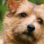 Norfolk Terrier cute