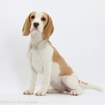 North Country Beagle cute