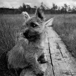 Norwich Terrier new wallpapers