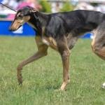 Polish Greyhound hd desktop