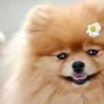 Pomeranian download