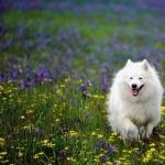 Samoyed new photos