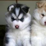 Siberian Husky hd desktop