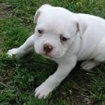 American Bulldog cute