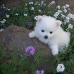 American Eskimo Dog cute
