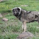 Armenian Gampr dog photo