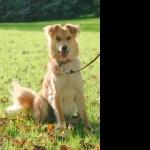 Basque Shepherd Dog photo