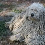 Bergamasco Shepherd free