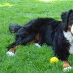 Bernese Mountain Dog cute