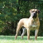 Boerboel high quality wallpapers