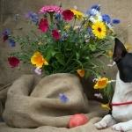 Boston Terrier wallpaper