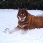 Canadian Eskimo Dog new photos