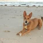 Carolina Dog images