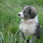 Carpathian Shepherd Dog download
