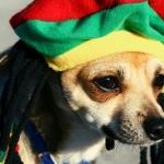 Chihuahua download wallpaper