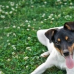 Chilean Fox Terrier high definition photo