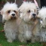 Dandie Dinmont Terrier background