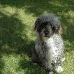 Glen of Imaal Terrier download