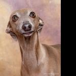 Italian Greyhound free