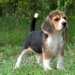 Kerry Beagle background