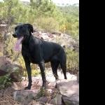 Majorca Shepherd Dog image