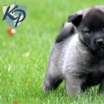 Norwegian Elkhound high definition photo