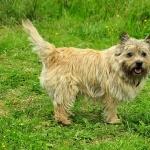 Norwich Terrier free wallpapers
