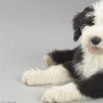 Old English Sheepdog new wallpaper