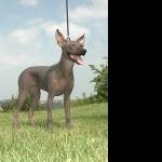 Peruvian Hairless Dog hd photos