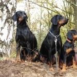 Polish Hunting Dog wallpapers hd