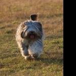 Polish Lowland Sheepdog high definition photo