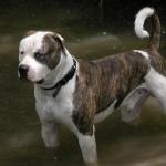 American Bulldog new photos