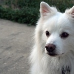 American Eskimo Dog new photos