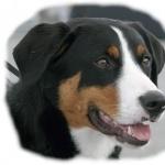 Appenzeller Sennenhund wallpapers