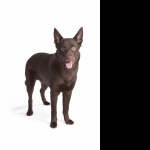 Australian Kelpie wallpapers hd