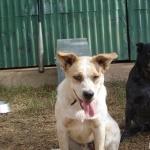 Australian Stumpy Tail Cattle Dog hd desktop