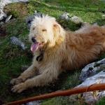 Basque Shepherd Dog desktop wallpaper