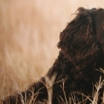 Boykin Spaniel new wallpaper